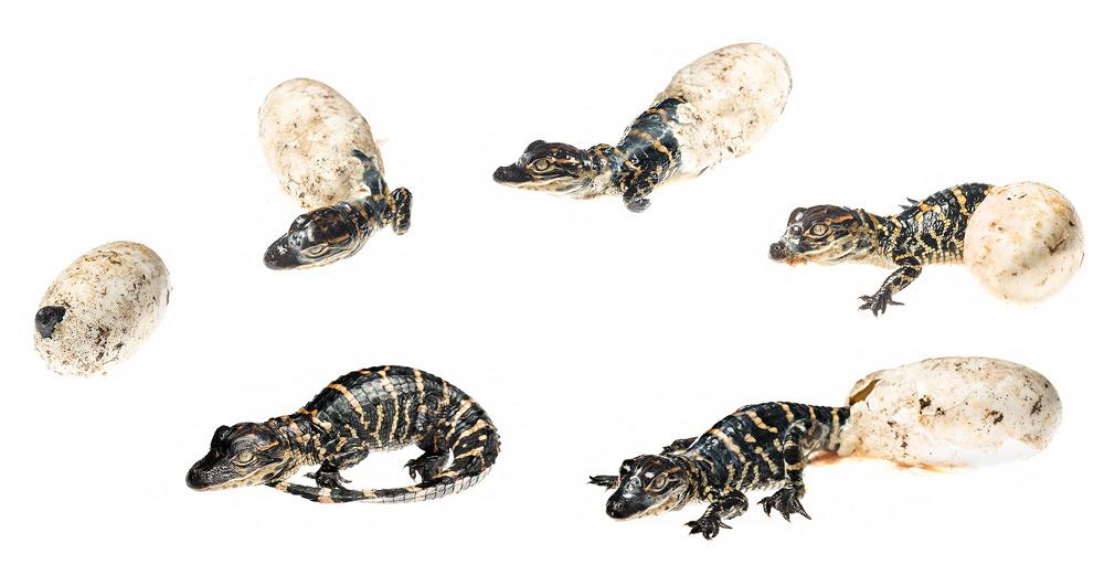 alligator, egg, hatching, , photo