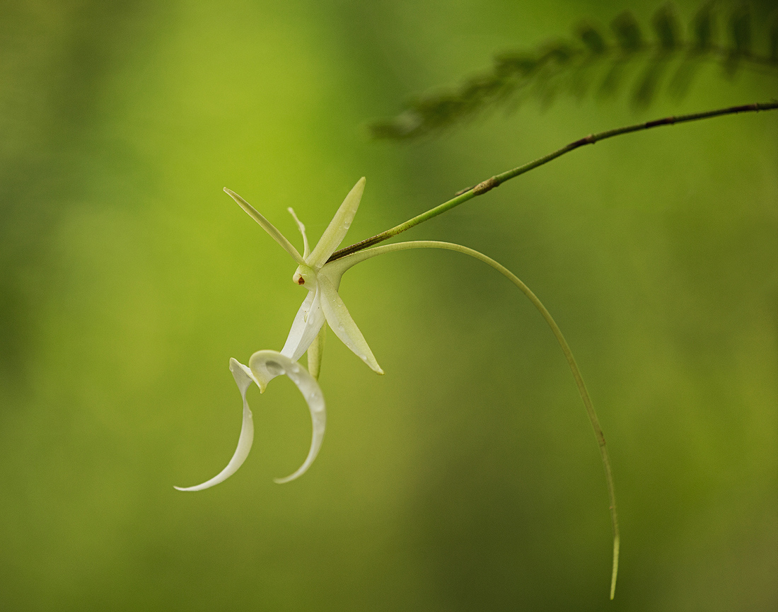ghost orchid, big cypress, florida, photo