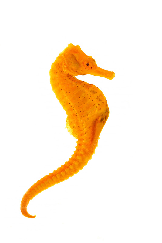 Longsnout Seahorse, Hippocampus reidi, photo