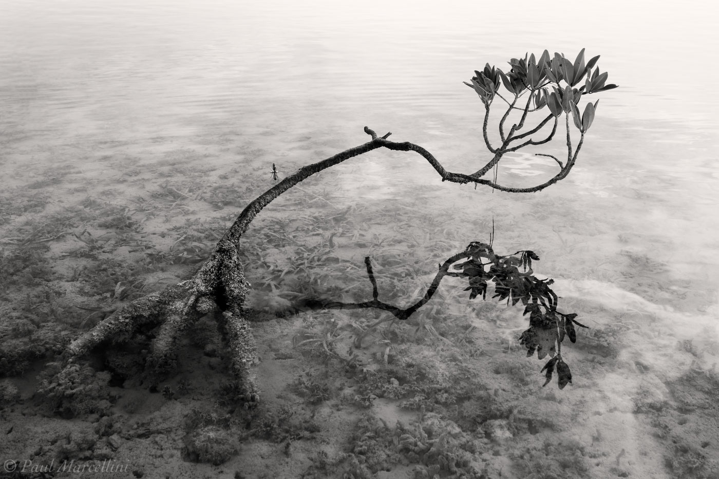 A small mangrove, dwarfed by the harsh environment.