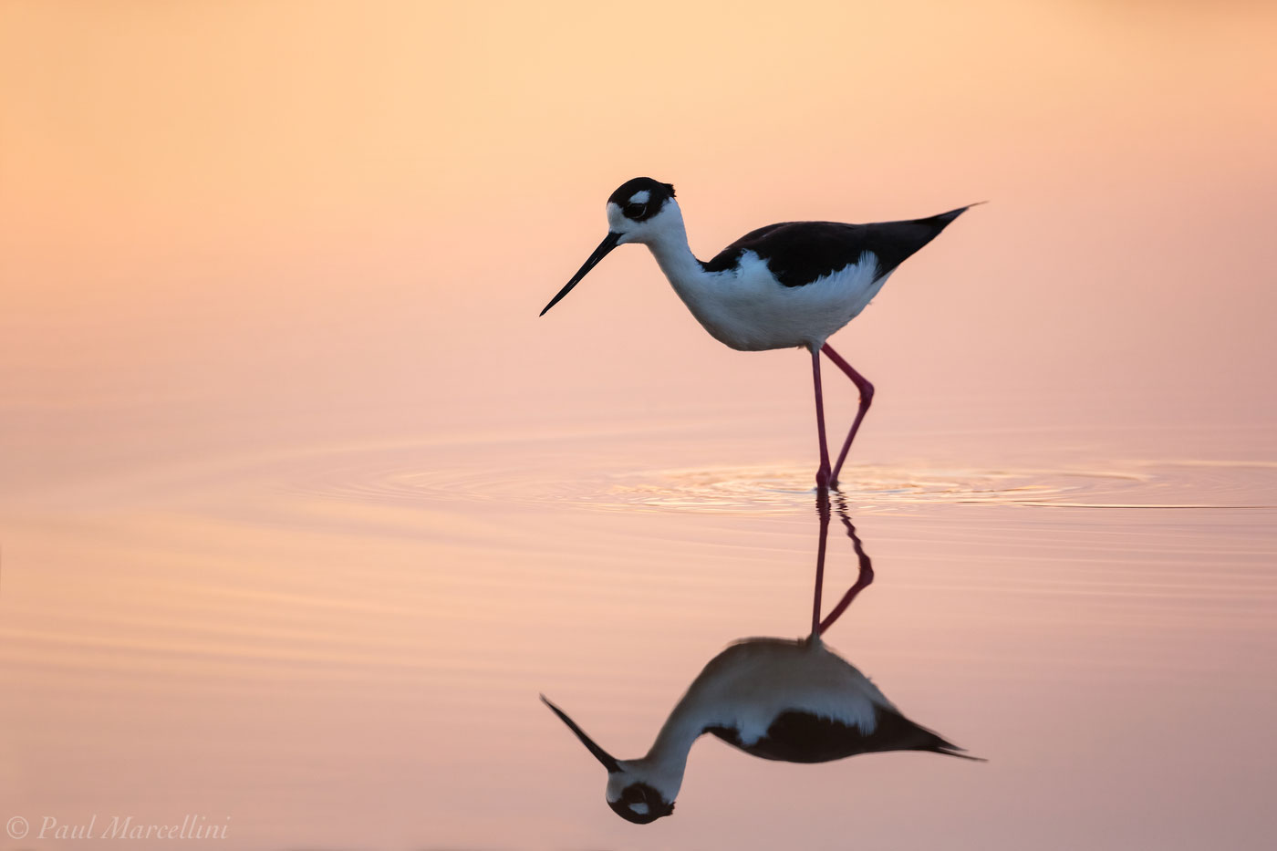 Himantopus mexicanus, black-necked stilt, everglades, sunset, photo