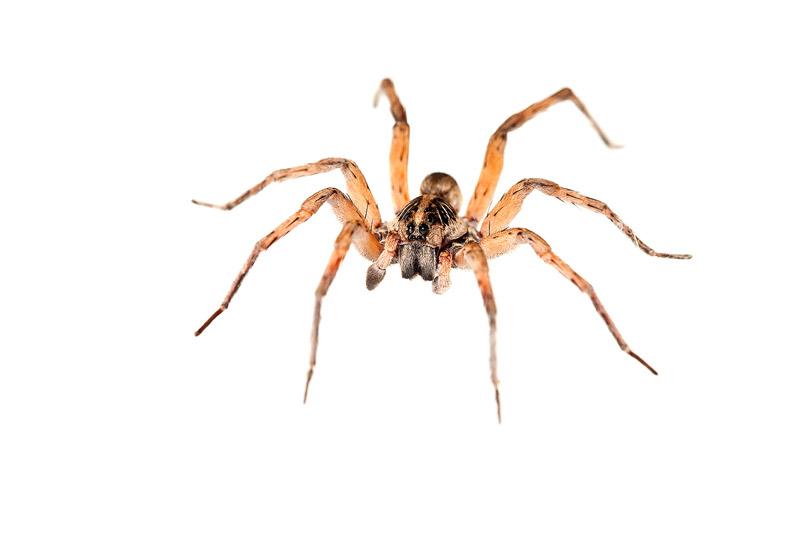 Wolf Spider, Hogna , photo