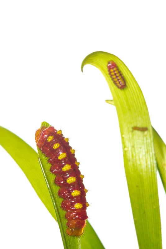 atala caterpillar, Eumaeus atala, photo