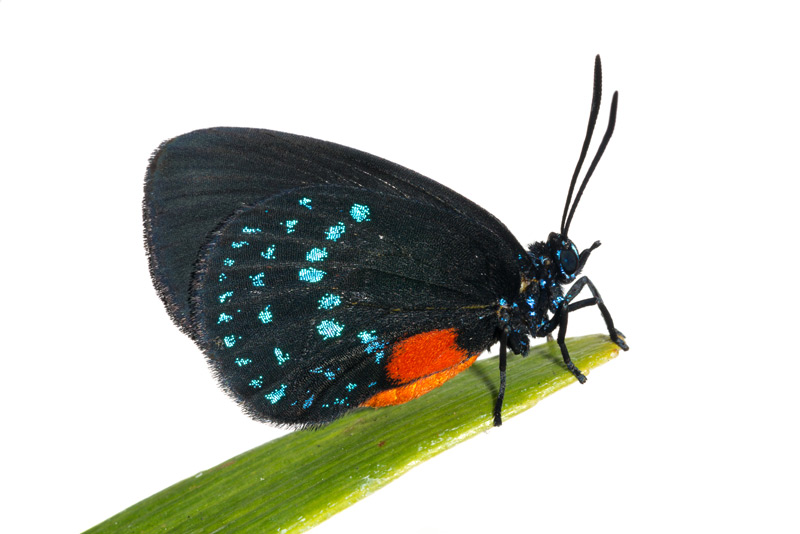 Atala Butterfly, Eumaeus atala, photo