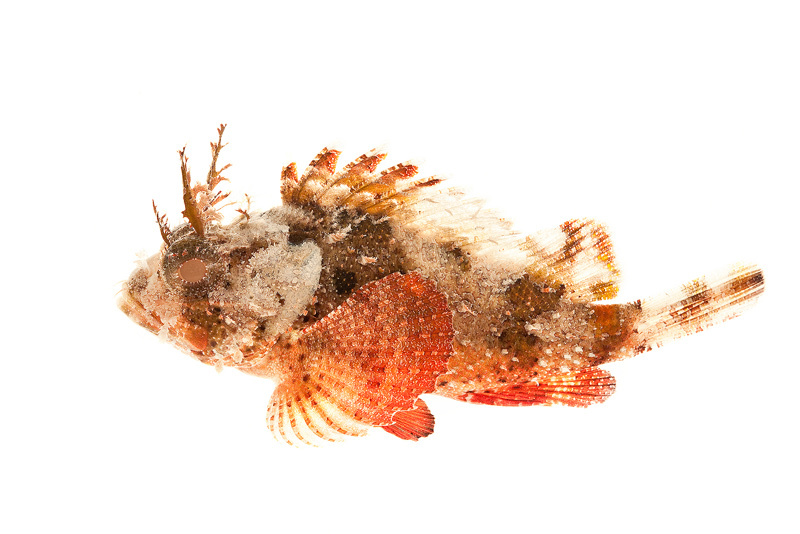 Scorpaena grandicornis, Plumed scorpionfish, fish, photo