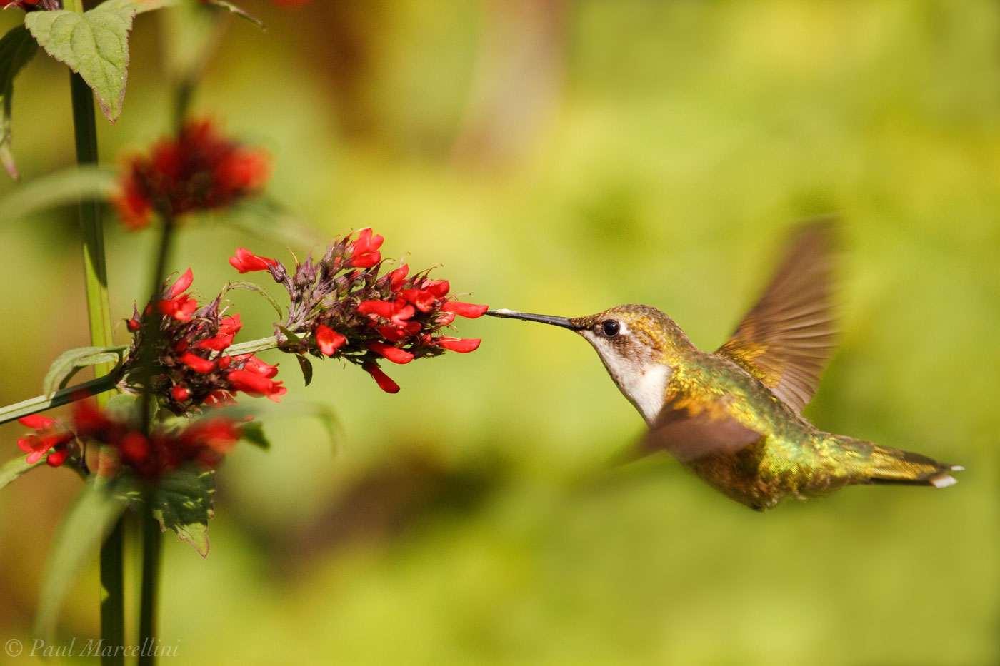 Ruby-throated Hummingbird, Archilochus colubris, photo