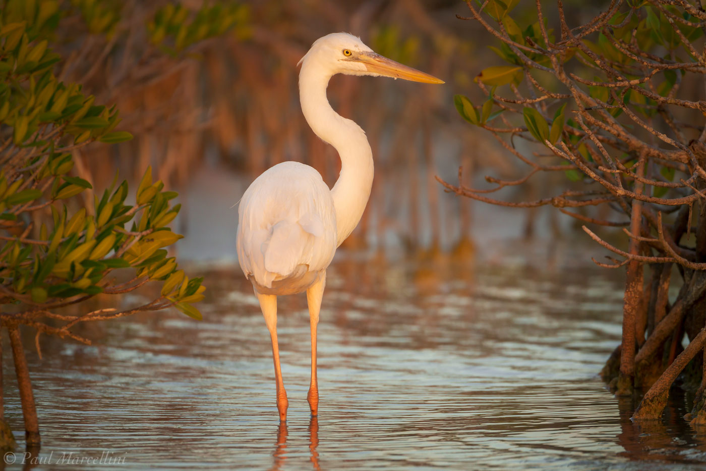 Ardea herodias occidentalis, great white heron, great white heron national wildlife refuge, florida, photo