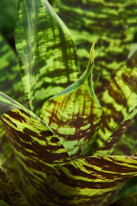 vriesea ospinae, bromeliad, photo