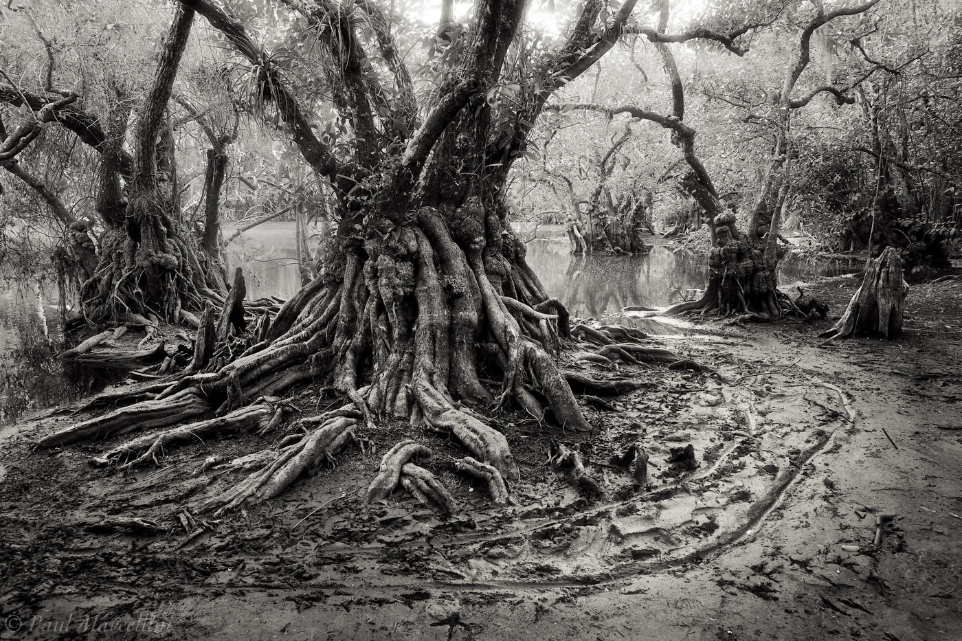 big cypress, pond apples, Florida, nature, photography, photo