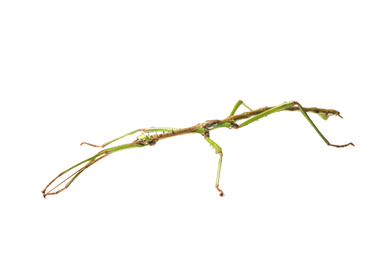 Haplopus (Aplopus) mayeri, photo