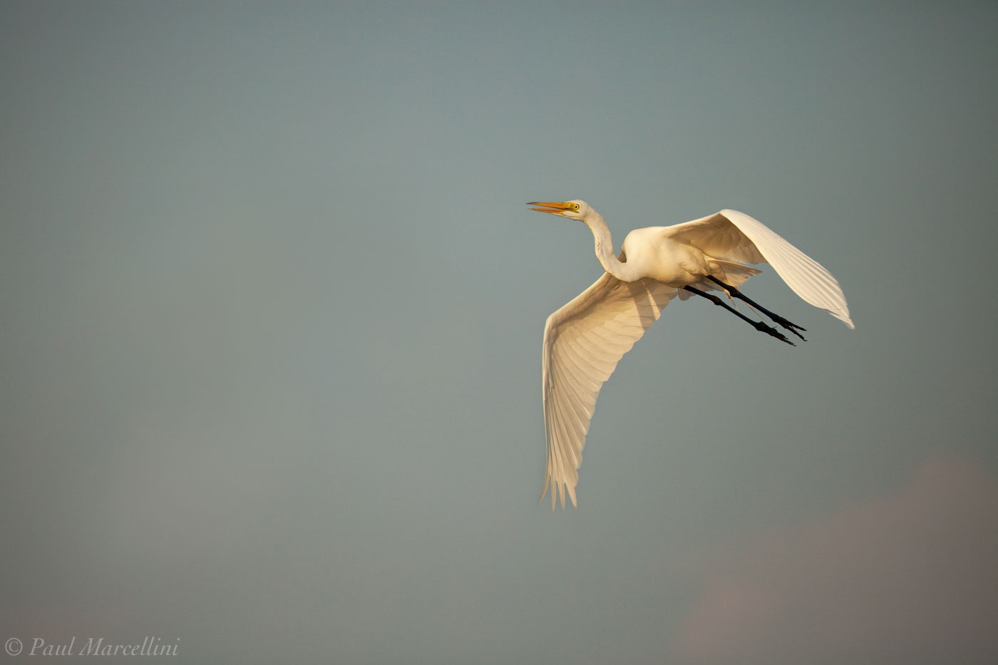A Great Egret (Ardea alba) flies past in the late afternoon light.