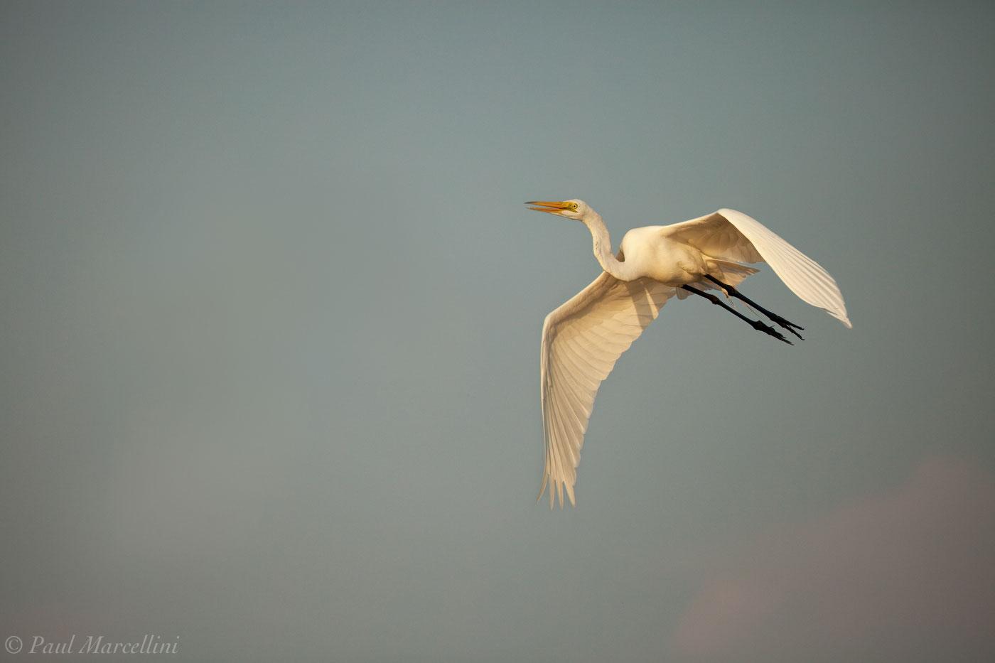 Ardea alba, great egret, ft. desoto, florida, ft desoto, fort desoto, desoto, photo