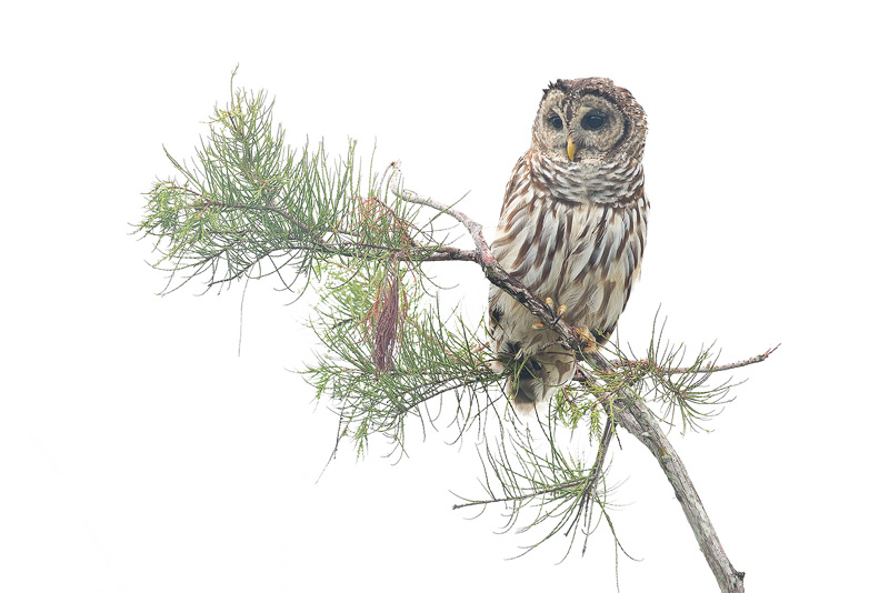 Barred Owl, Strix varia, photo