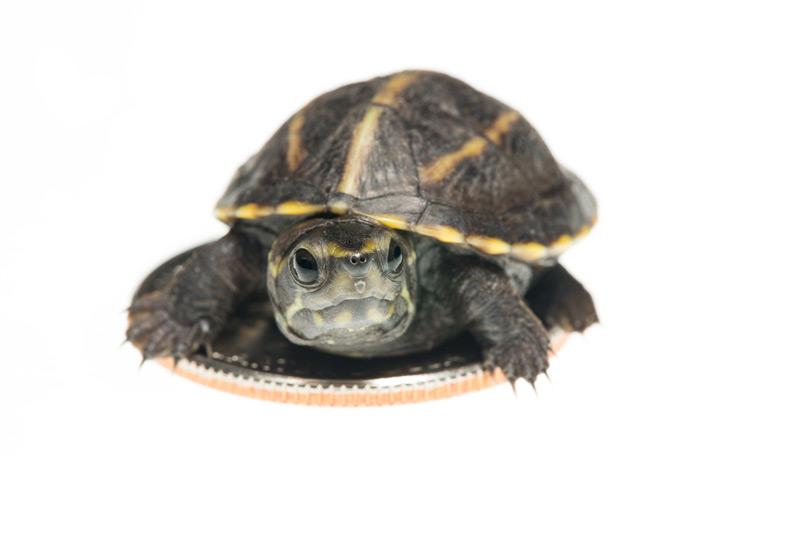Kinosternon baurii,striped mud turtle, photo