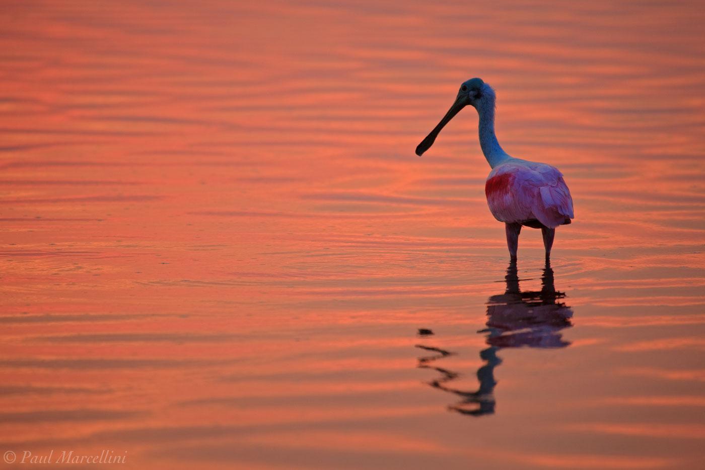 Ajaja ajaja, roseate spoonbill, sunset, ft desoto, fort desoto, desoto, photo