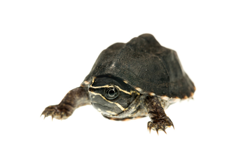Common Musk Turtle, Sternotherus odoratus, photo