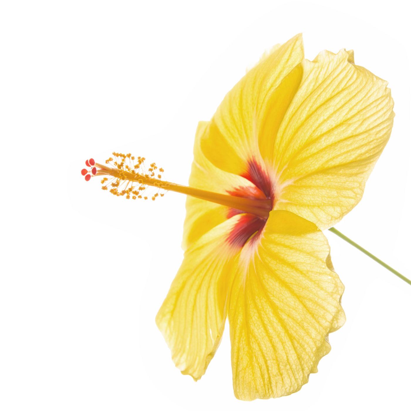 flower, tropical, flora, hibiscus, yellow, photo