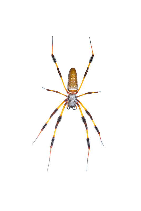 Golden Silk Orb Weaver, Nephila clavipes, photo
