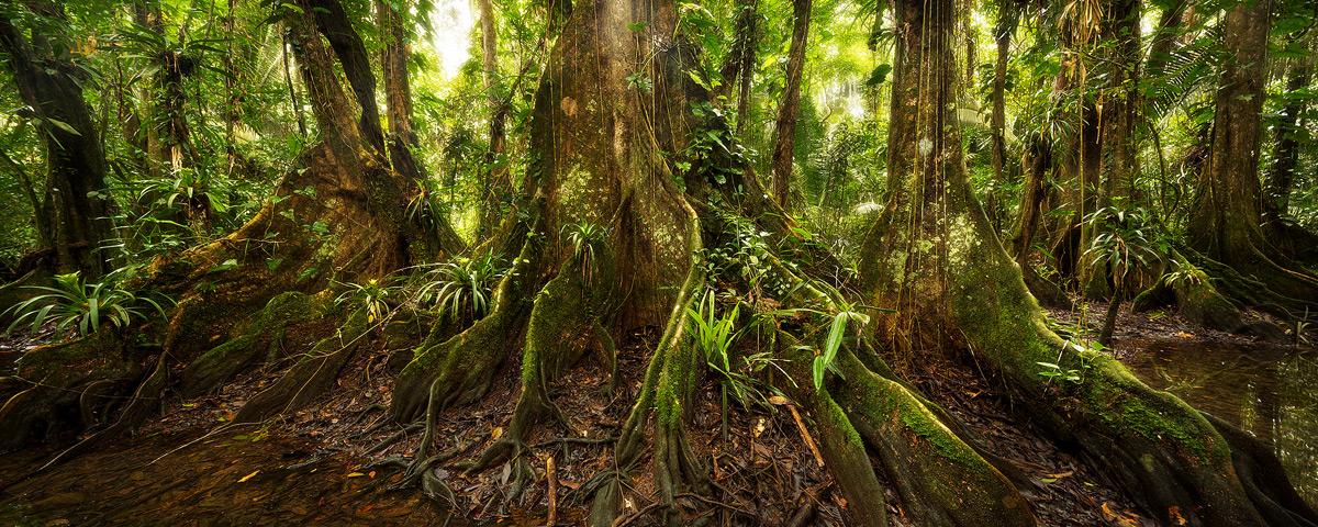 belize, kaway trees, jungle, photo