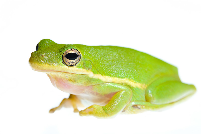 Hyla cinerea, green tree frog, photo