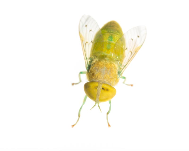 Green Horse Fly (Chlorotabanus crepuscularis), photo