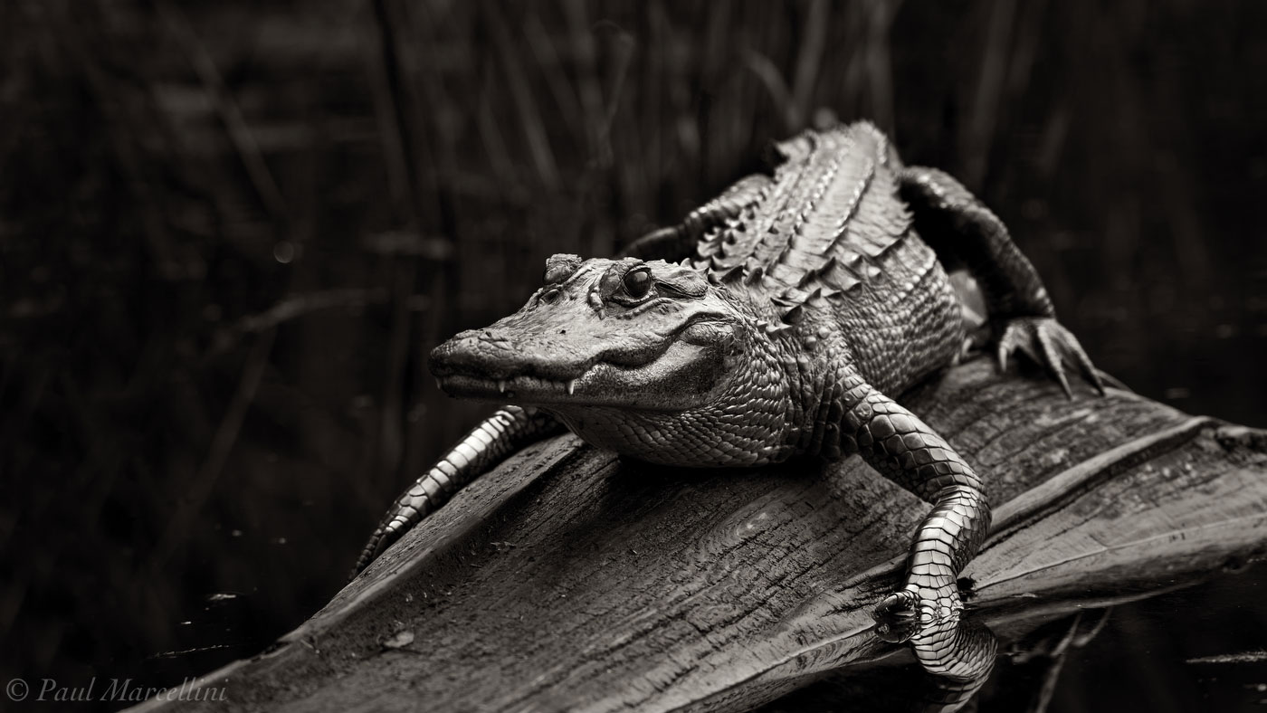 alligator, sun, log, Fakahatchee Strand Preserve State Park, Florida, fakahatchee, photo