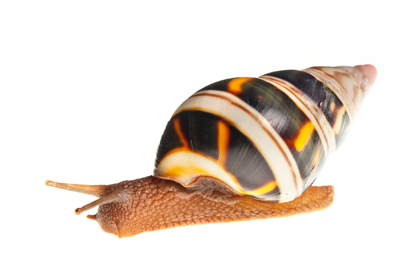 Liguus Tree Snail, Liguus fasciatus, miami, florida, photo