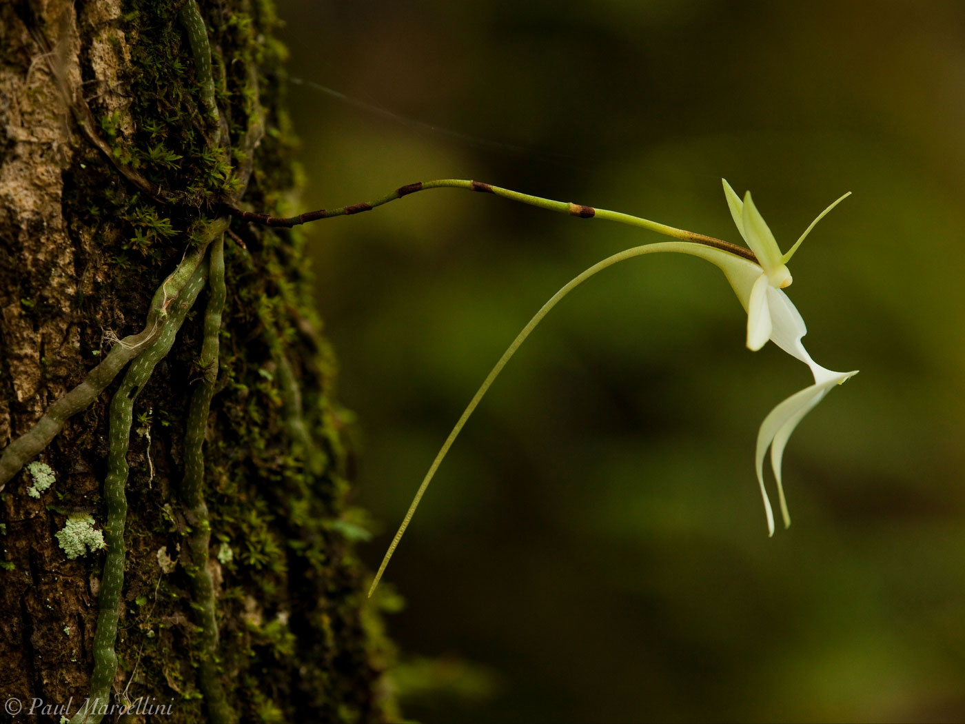 ghost orchid, polyrrhiza lindenii, big cypress, national, preserve, Florida, nature, photography, photo