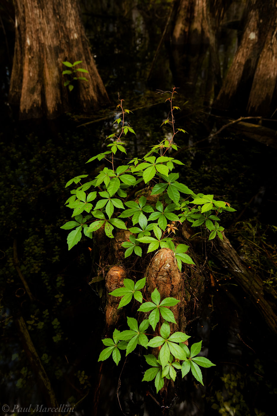 cypress, virginia creeper, Parthenocissus quinquefolia, swamp, big cypress, Florida, nature, photography, photo