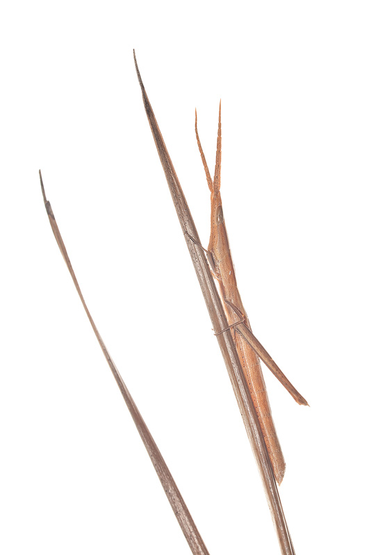 Long-headed Toothpick Grasshopper, Achurum carinatum, grasshopper, photo