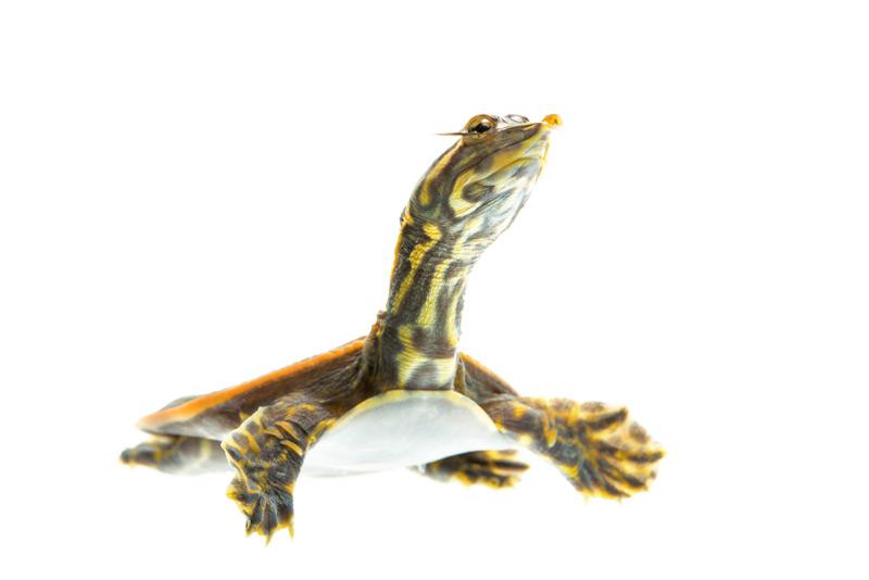 florida softshell, Apalone ferox, turtle, photo