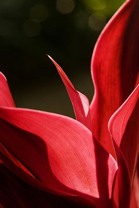 cordyline, leaves, photo