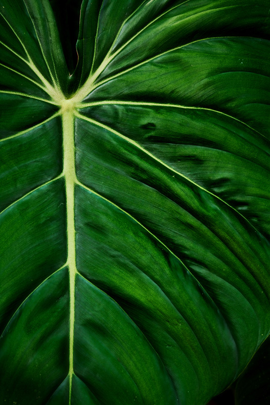 philodendron, leaf, photo