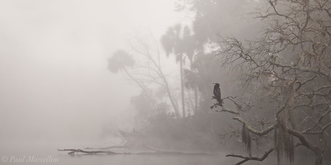 Chassahowitzka River, anhinga, foggy, morning, Chassahowitzka National Wildlife Refuge, Florida, north florida, nature, photography, chassahowitzka, photo