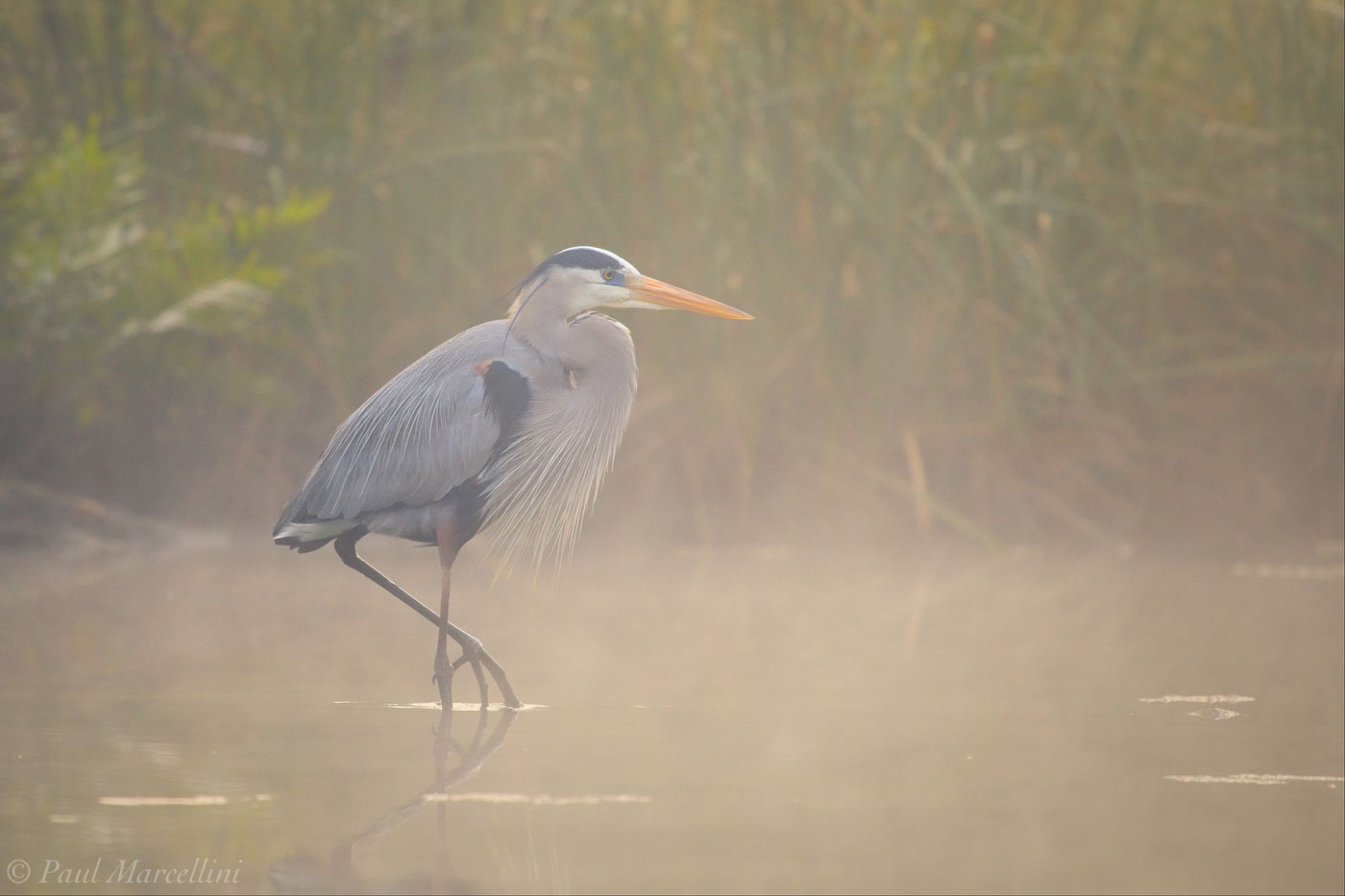 Chassahowitzka National Wildlife Refuge, river, great blue heron, Ardea herodias, fog, photo