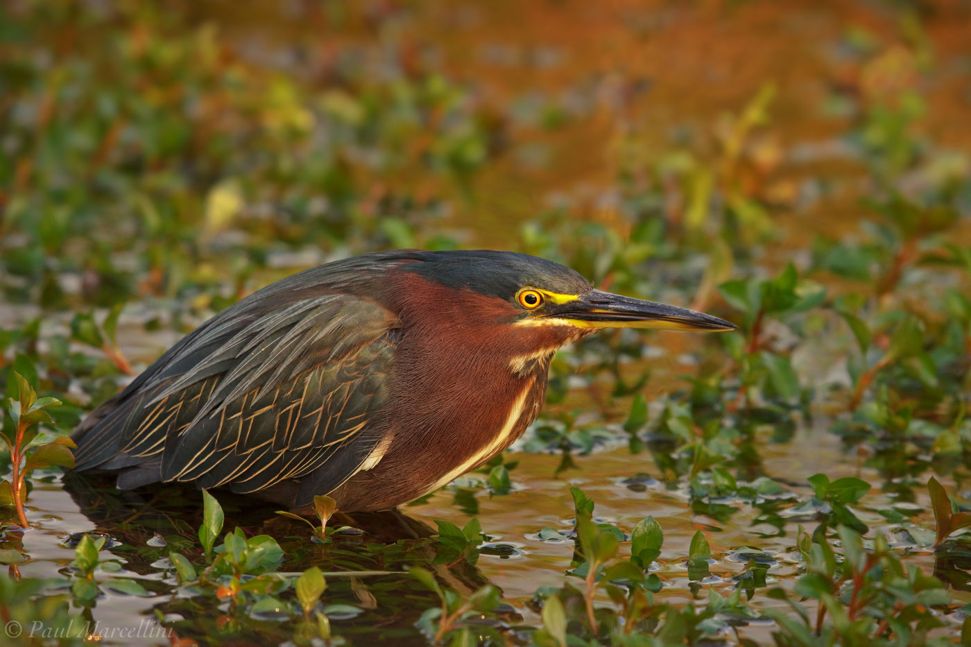 A Green Heron (Butorides virescens), one of the smallest in Florida, hunts minnows in the afternoon.