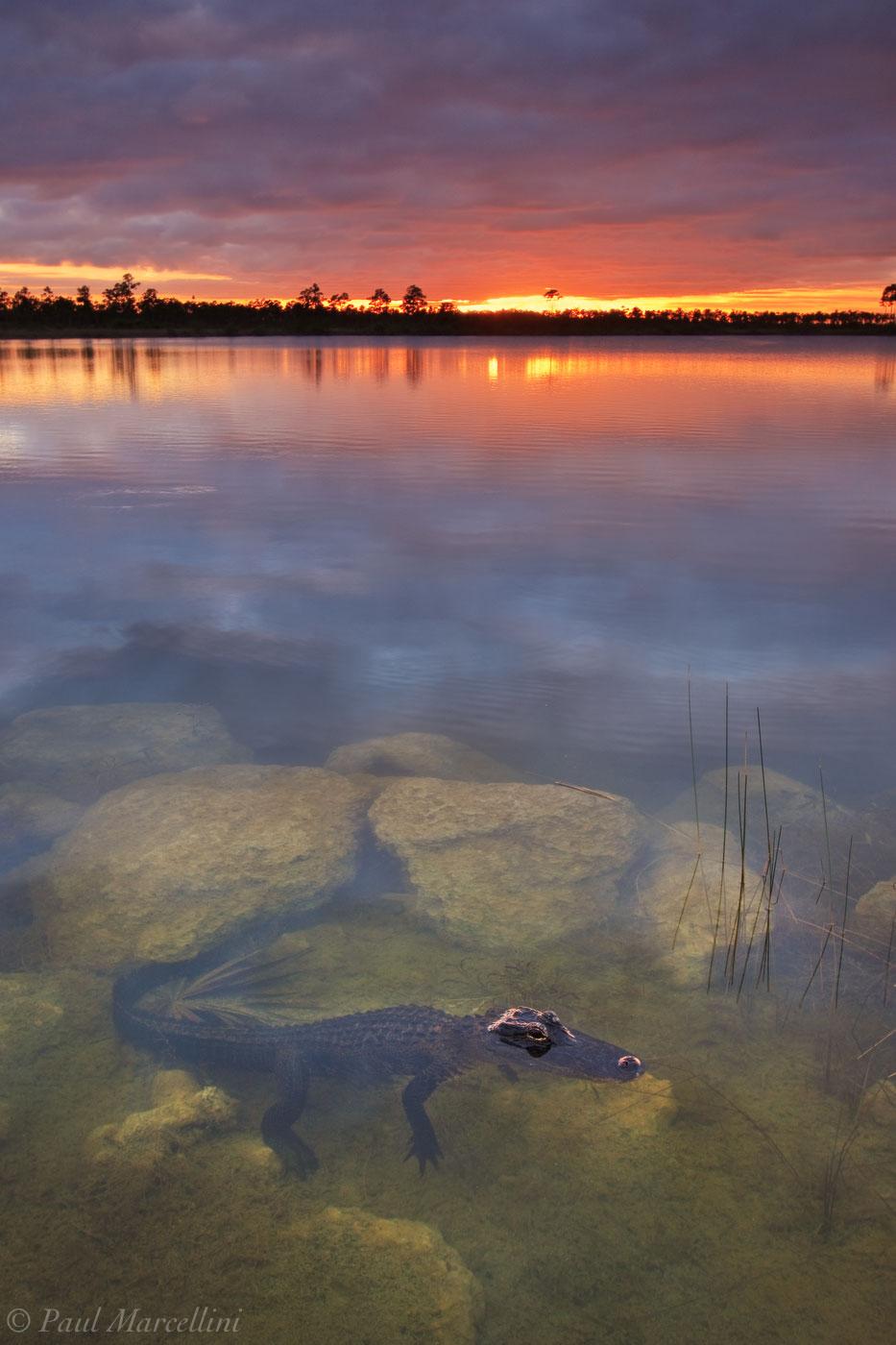 alligator, sunset, pine glades lake, everglades, florida, nature, photography, florida national parks, photo