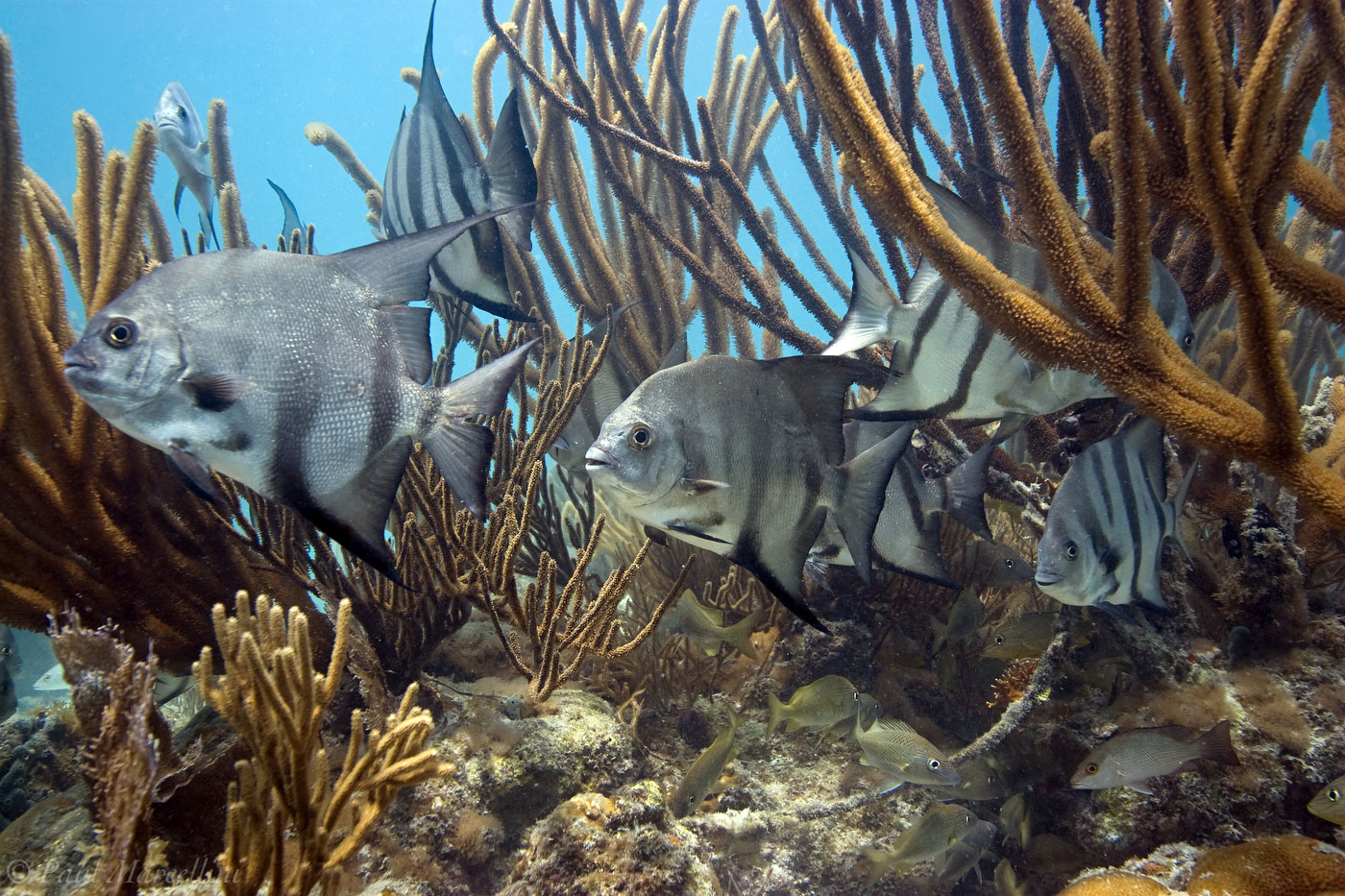 Atlantic spadefish, Chaetodipterus faber, florida keys, photo