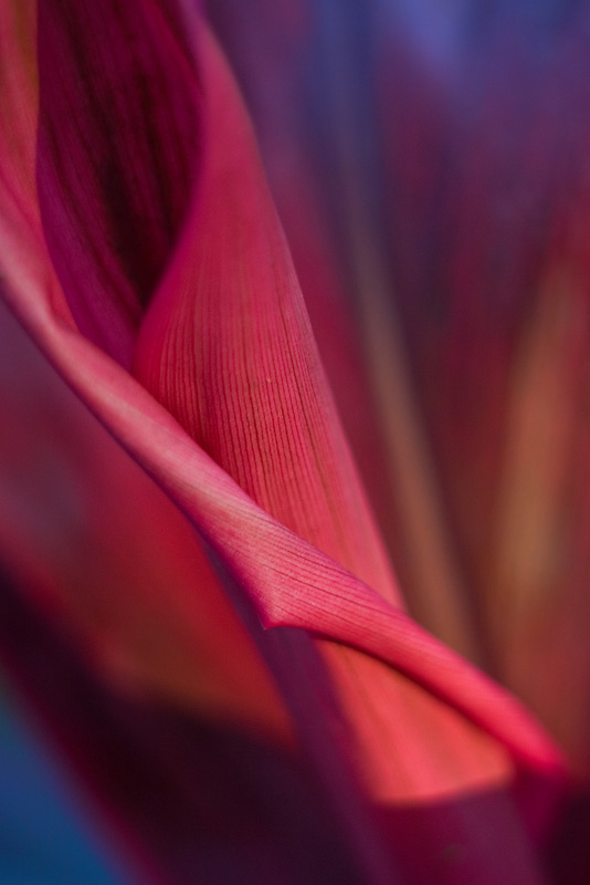 cordyline, leaf, photo
