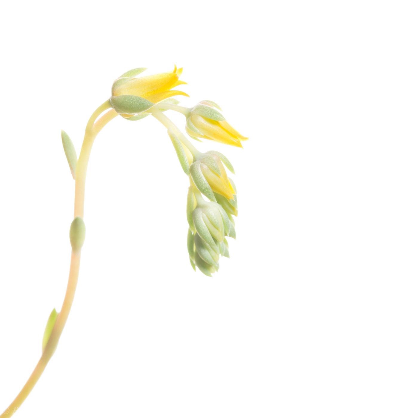 flower, tropical, flora, open edition, square, yellow, sedum