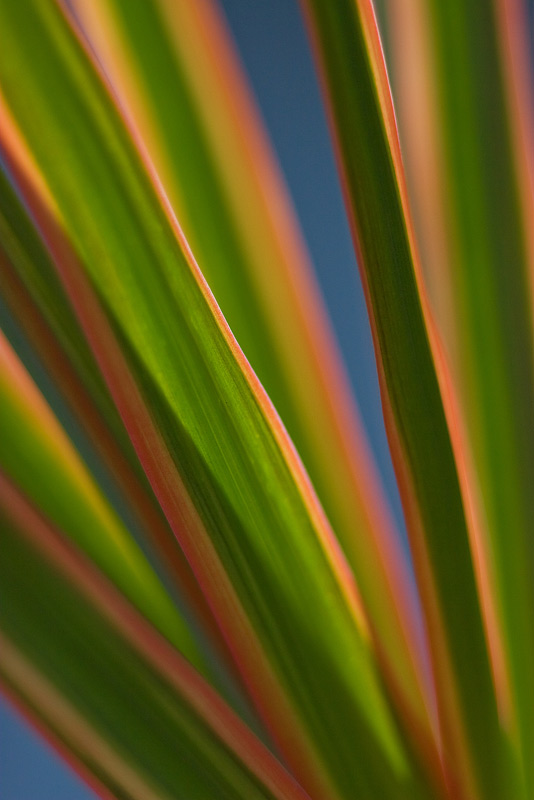 A detail shot of a Dracaena backlit by the sunlight.