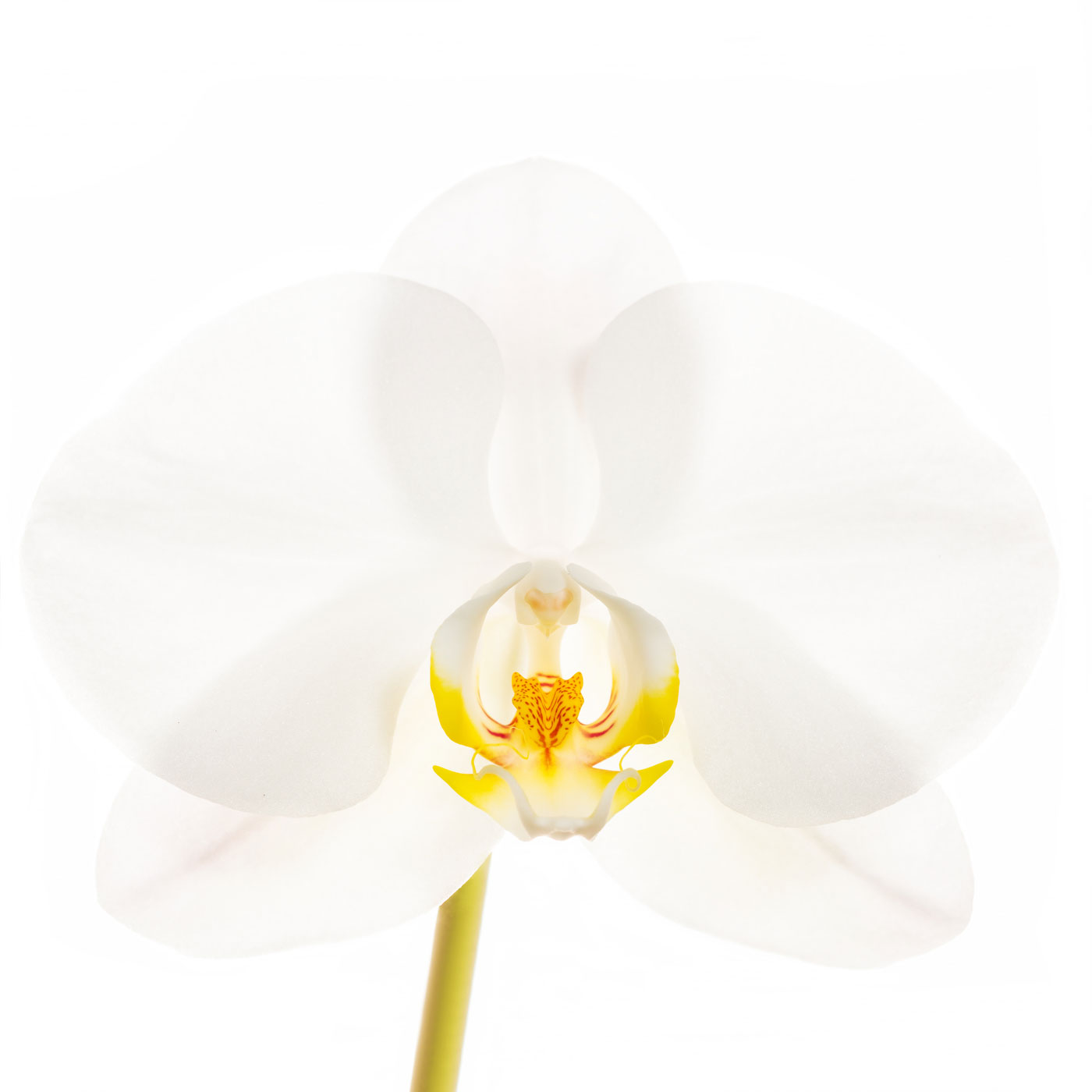 flower, tropical, flora, phalaenopsis, photo