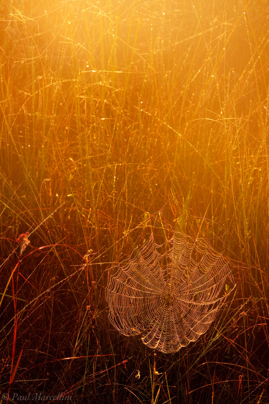 In the morning, the dew convered spiderwebs are everywhere. When the sun hits them just right, they sparkle like jewels.