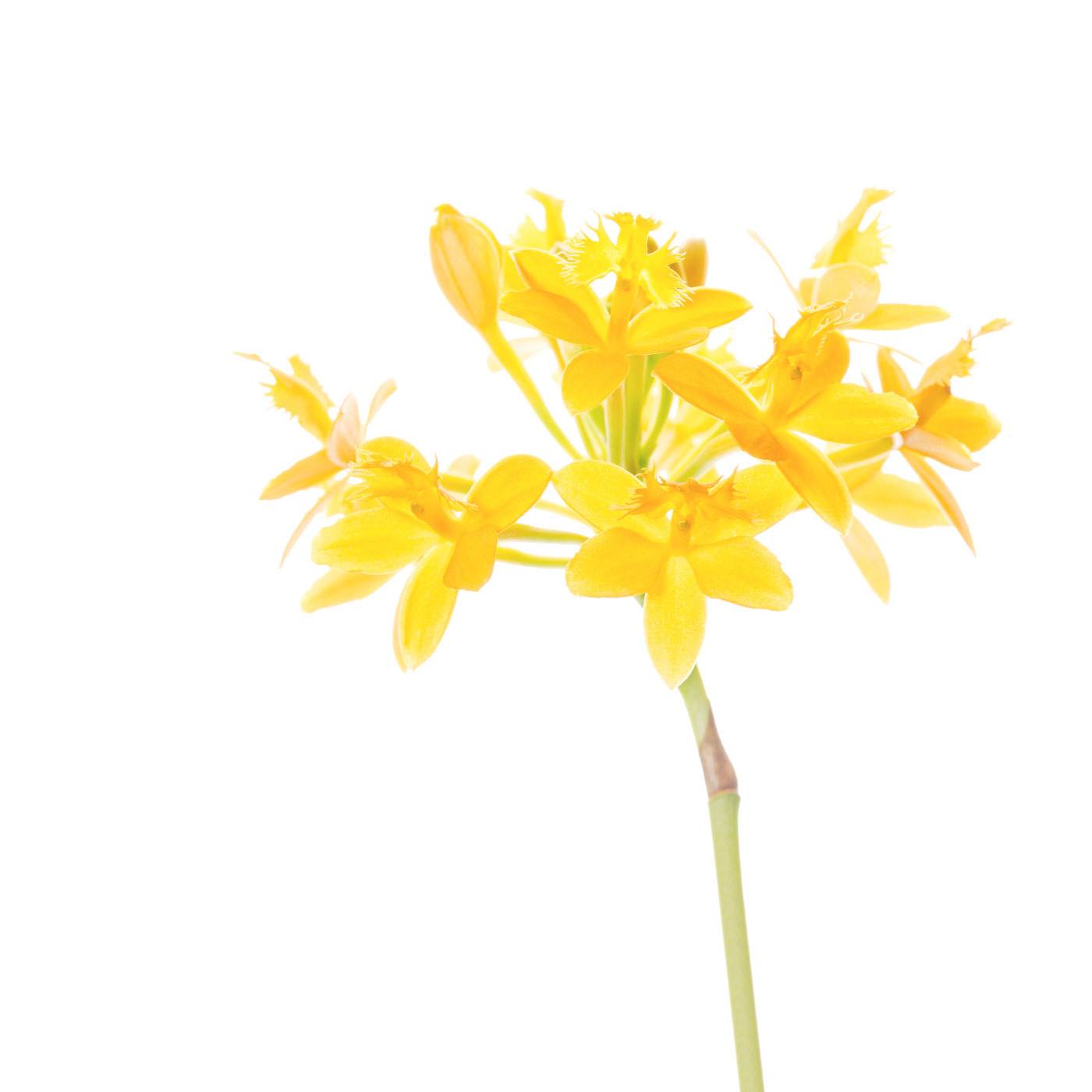 flower, tropical, flora, epidendrum, photo