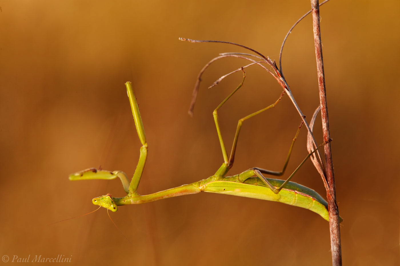 preying mantis, everglades national park, photo