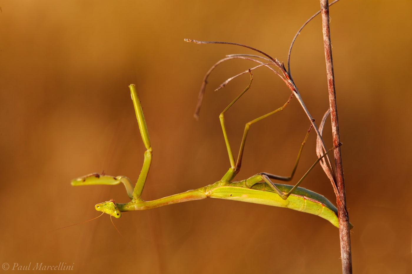 preying mantis, everglades national park, photo