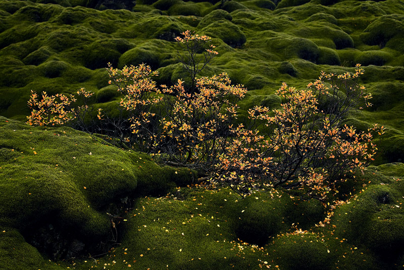 moss, fall, bushes, laki, Iceland, photo