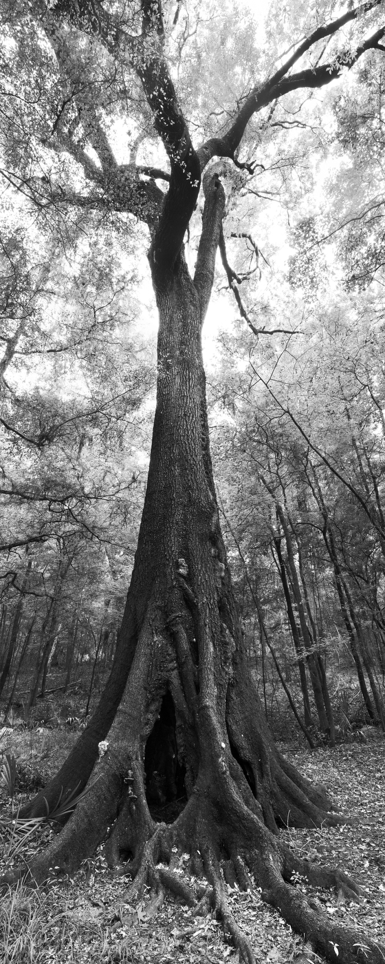 oak, Suwannee River State Park, florida, nature, photography, photo
