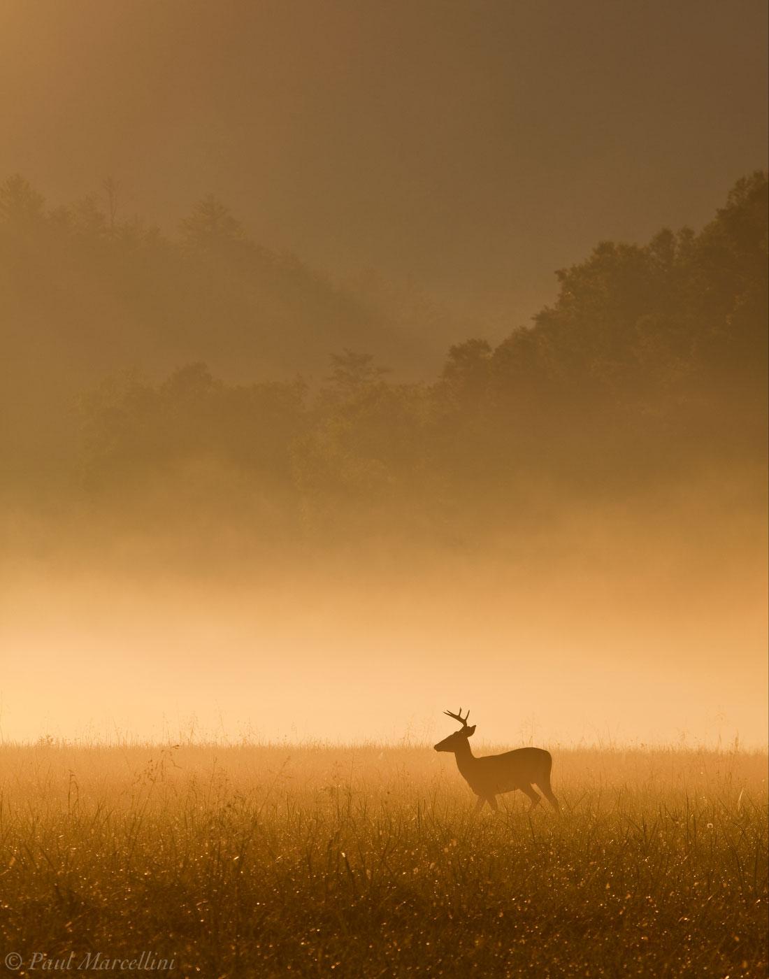 Odocoileus virginianus, white-tailed deer, great smoky mountains, cades cove, foggy, deer, photo