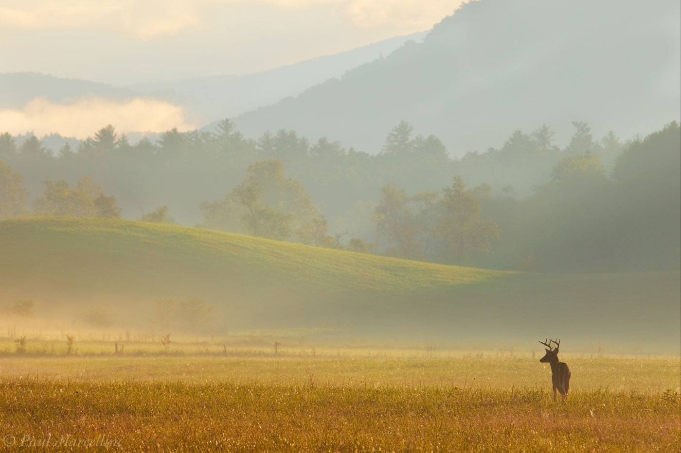 Odocoileus virginianus, white-tailed deer, cades cove, great smoky mountains national park, fog, morning, deer, photo